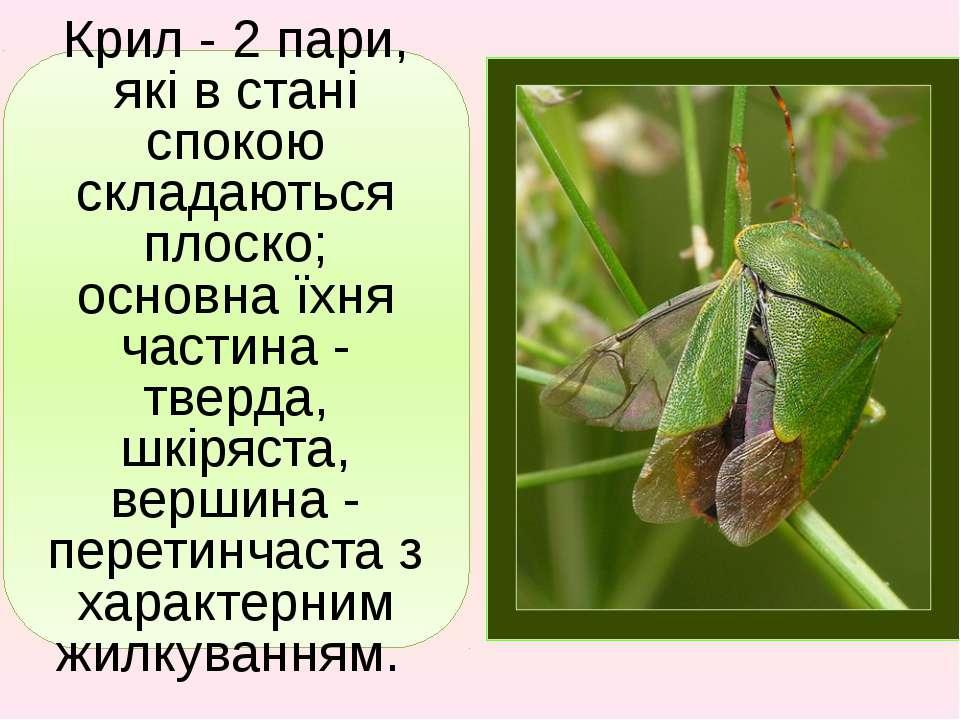 Крил - 2 пари, які в стані спокою складаються плоско; основна їхня частина - ...