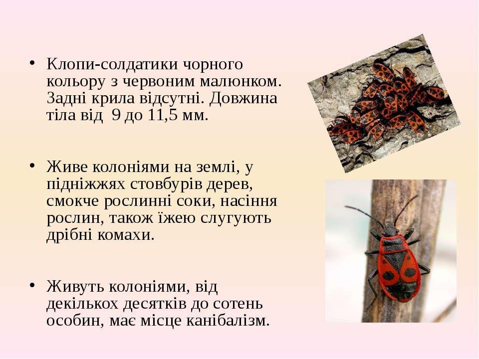 Клопи-солдатикичорного кольоруз червоним малюнком. Задні крила відсутні. До...