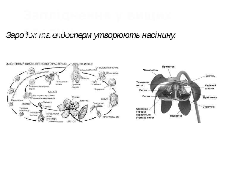Зародок та ендосперм утворюють насінину. Запліднення у вищих рослин