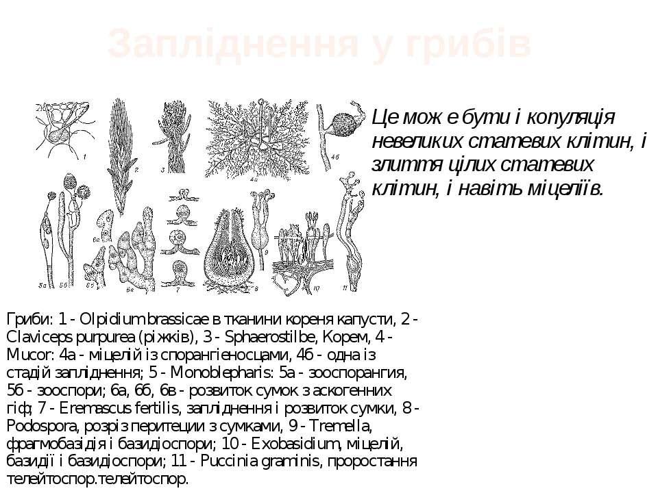 Запліднення у грибів Це може бути і копуляція невеликих статевих клітин, і зл...