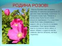 РОДИНА РОЗОВІ Квітка Розових має подвійну оцвітину. Її чашечка складається з ...