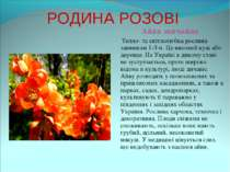 РОДИНА РОЗОВІ Айва звичайна Тепло- та світлолюбна рослина заввишки 1-3 м. Це ...