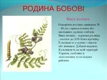 РОДИНА БОБОВІ Вика посівна Однорічна рослина заввишки 30 – 80 см з прямостояч...