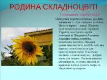 РОДИНА СКЛАДНОЦВІТІ Соняшник однорічний Однорічна жорсткоопушена рослина завв...