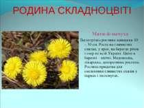 РОДИНА СКЛАДНОЦВІТІ Мати-й-мачуха Багаторічна рослина заввишки 10 – 30 см. Ро...