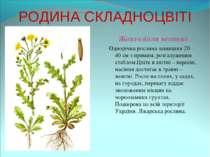 РОДИНА СКЛАДНОЦВІТІ Жовтозілля весняне Однорічна рослина заввишки 20 – 40 см ...