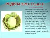 РОДИНА ХРЕСТОЦВІТІ Капуста городня Дворічна рослина заввишки 60 – 120 см. Пер...