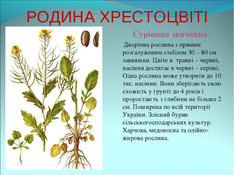 РОДИНА ХРЕСТОЦВІТІ Суріпиця звичайна Дворічна рослина з прямим розгалуженим с...