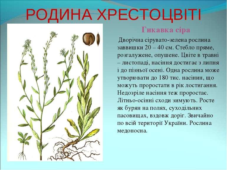 РОДИНА ХРЕСТОЦВІТІ Гикавка сіра Дворічна сірувато-зелена рослина заввишки 20 ...