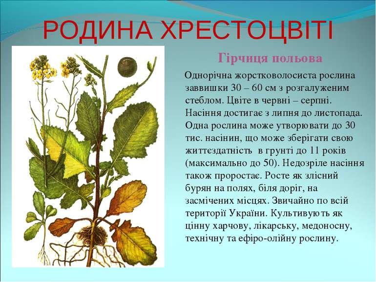 РОДИНА ХРЕСТОЦВІТІ Гірчиця польова Однорічна жорстковолосиста рослина заввишк...