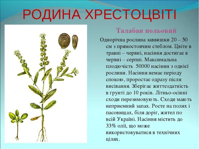 РОДИНА ХРЕСТОЦВІТІ Талабан польовий Однорічна рослина заввишки 20 – 50 см з п...