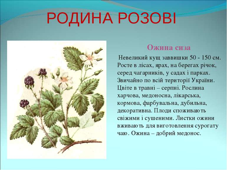 РОДИНА РОЗОВІ Ожина сиза Невеликий кущ заввишки 50 - 150 см. Росте в лісах, я...