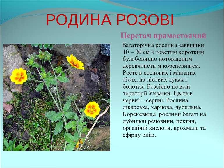 РОДИНА РОЗОВІ Перстач прямостоячий Багаторічна рослина заввишки 10 – 30 см з ...