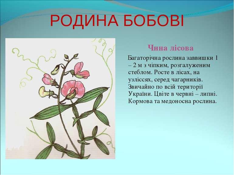 РОДИНА БОБОВІ Чина лісова Багаторічна рослина заввишки 1 – 2 м з чіпким, розг...