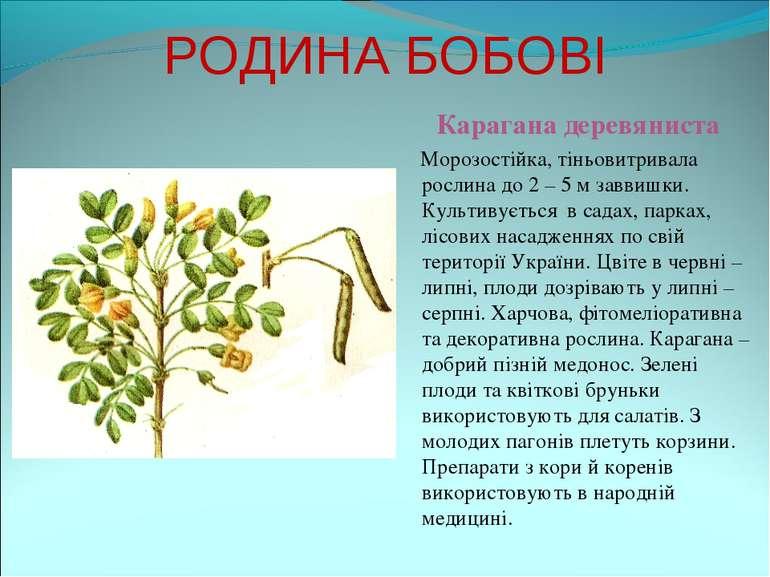 РОДИНА БОБОВІ Карагана деревяниста Морозостійка, тіньовитривала рослина до 2 ...