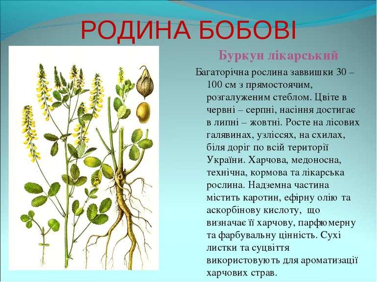 РОДИНА БОБОВІ Буркун лікарський Багаторічна рослина заввишки 30 – 100 см з пр...