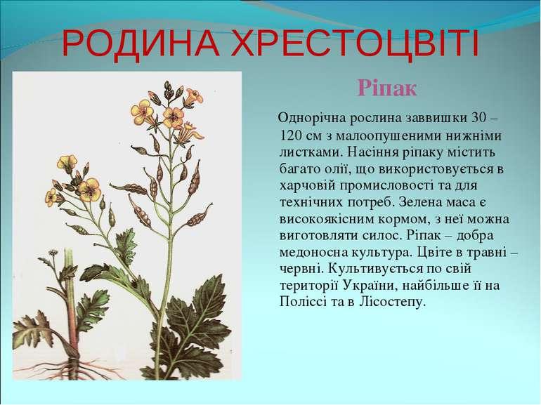 РОДИНА ХРЕСТОЦВІТІ Ріпак Однорічна рослина заввишки 30 – 120 см з малоопушени...