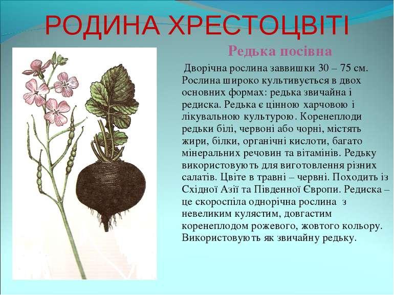 РОДИНА ХРЕСТОЦВІТІ Редька посівна Дворічна рослина заввишки 30 – 75 см. Росли...