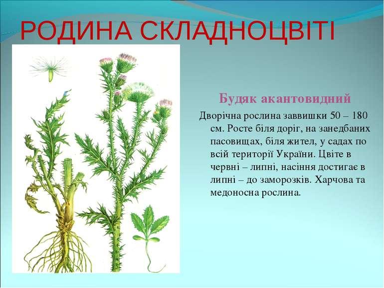 РОДИНА СКЛАДНОЦВІТІ Будяк акантовидний Дворічна рослина заввишки 50 – 180 см....