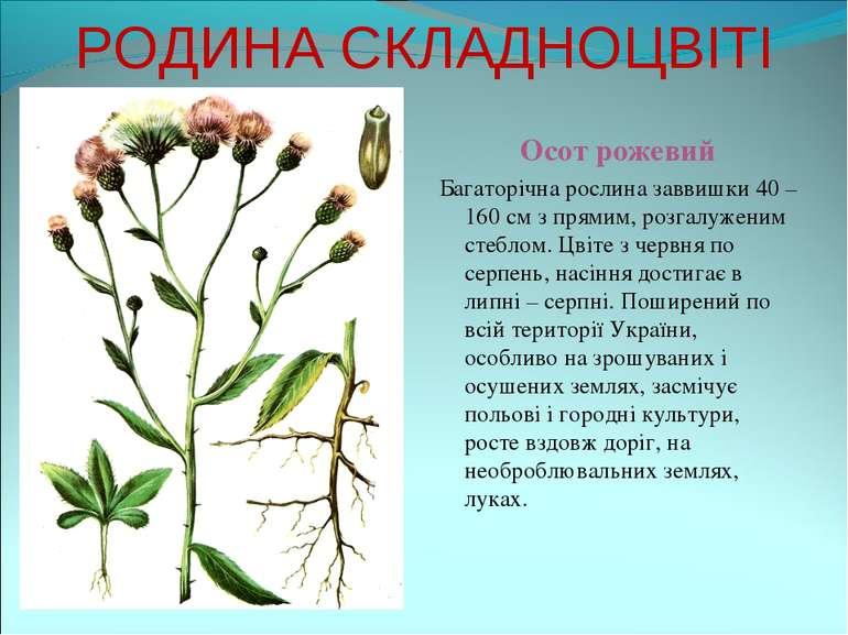 РОДИНА СКЛАДНОЦВІТІ Осот рожевий Багаторічна рослина заввишки 40 – 160 см з п...