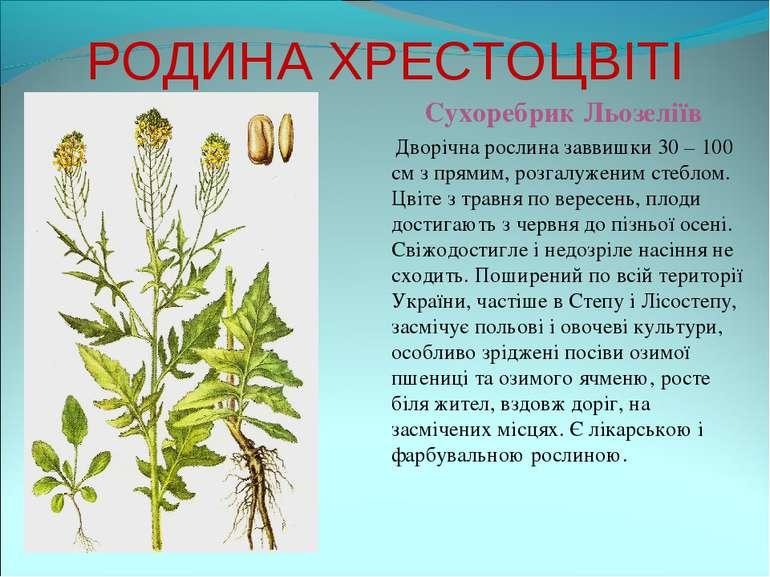 РОДИНА ХРЕСТОЦВІТІ Сухоребрик Льозеліїв Дворічна рослина заввишки 30 – 100 см...