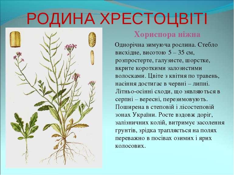 РОДИНА ХРЕСТОЦВІТІ Хориспора ніжна Однорічна зимуюча рослина. Стебло висхідне...