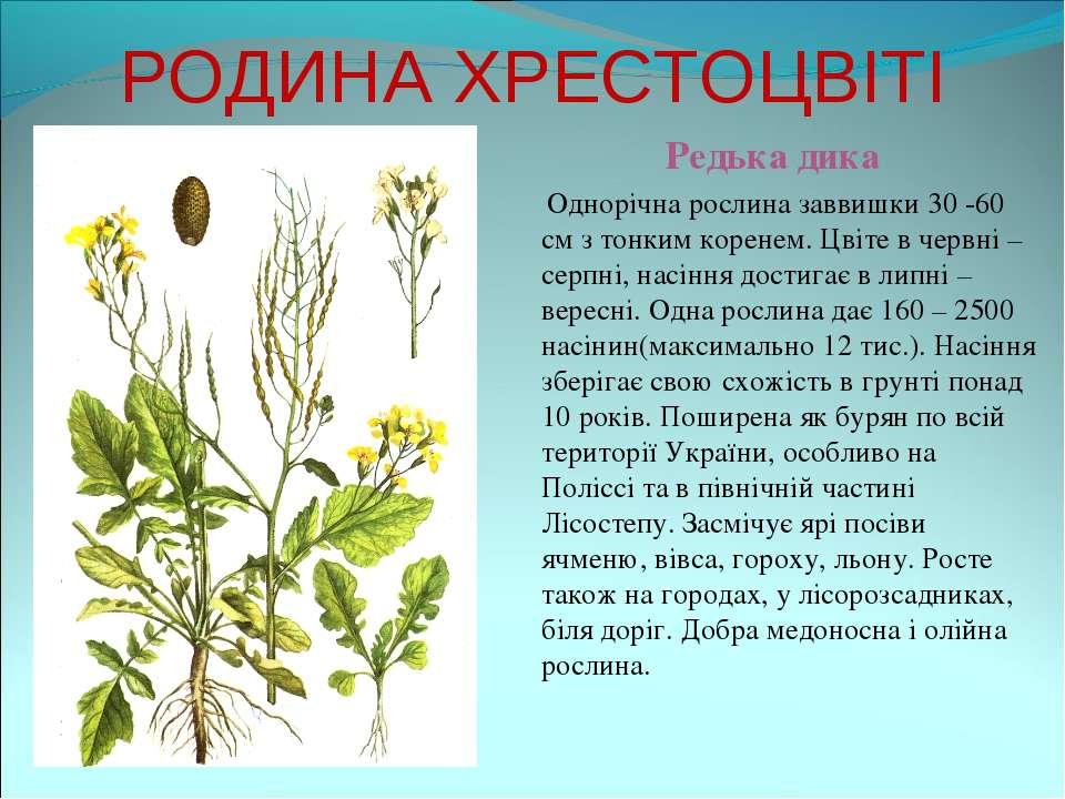 РОДИНА ХРЕСТОЦВІТІ Редька дика Однорічна рослина заввишки 30 -60 см з тонким ...