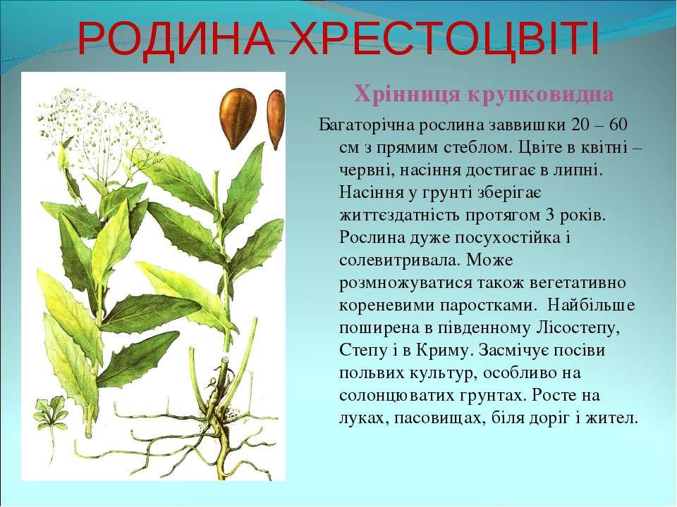 РОДИНА ХРЕСТОЦВІТІ Хрінниця крупковидна Багаторічна рослина заввишки 20 – 60 ...