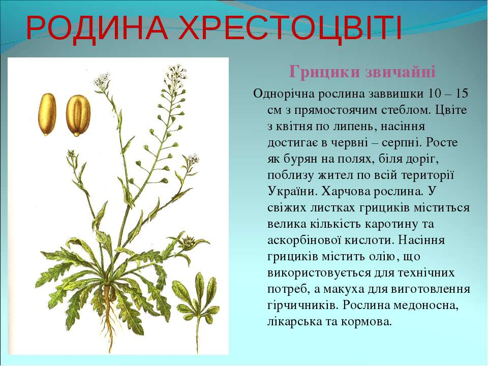 РОДИНА ХРЕСТОЦВІТІ Грицики звичайні Однорічна рослина заввишки 10 – 15 см з п...