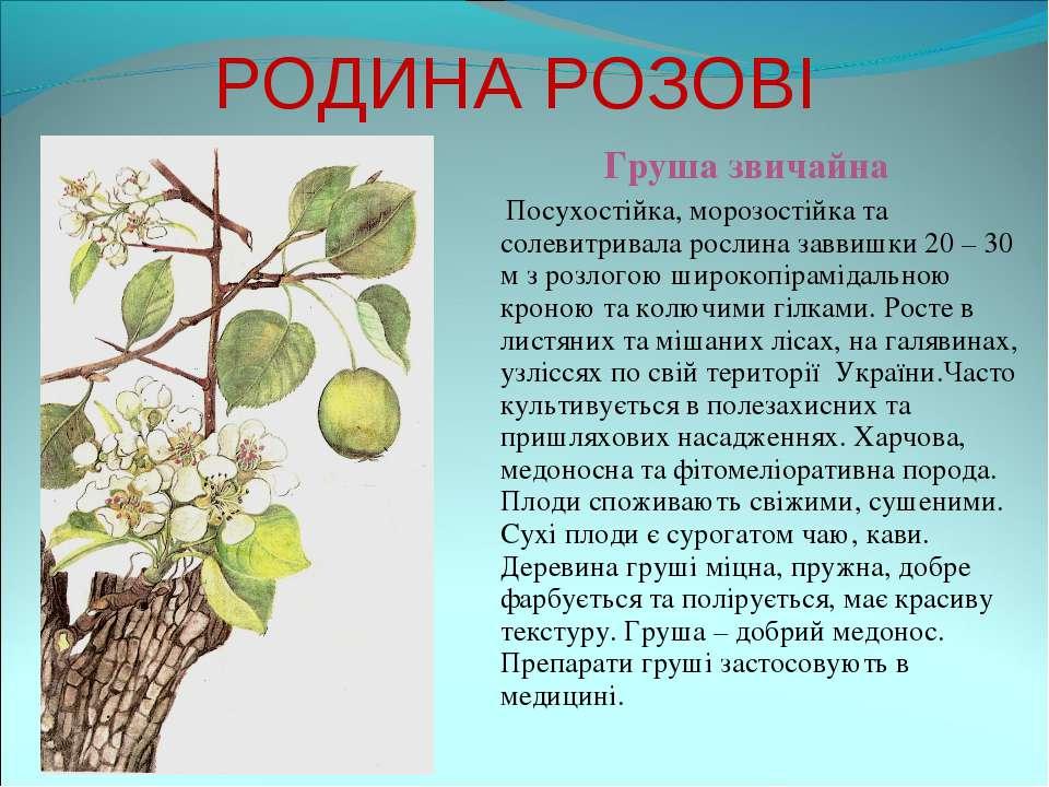 РОДИНА РОЗОВІ Груша звичайна Посухостійка, морозостійка та солевитривала росл...
