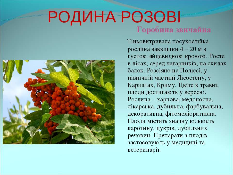 РОДИНА РОЗОВІ Горобина звичайна Тіньовитривала посухостійка рослина заввишки ...