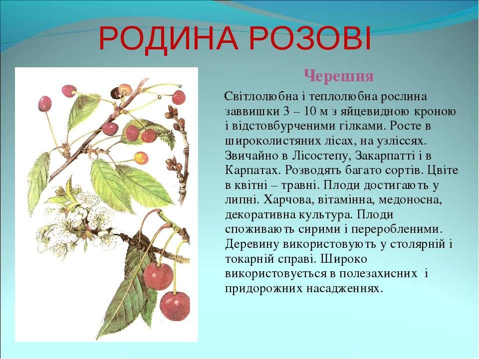 РОДИНА РОЗОВІ Черешня Світлолюбна і теплолюбна рослина заввишки 3 – 10 м з яй...