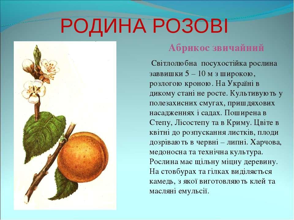 РОДИНА РОЗОВІ Абрикос звичайний Світлолюбна посухостійка рослина заввишки 5 –...