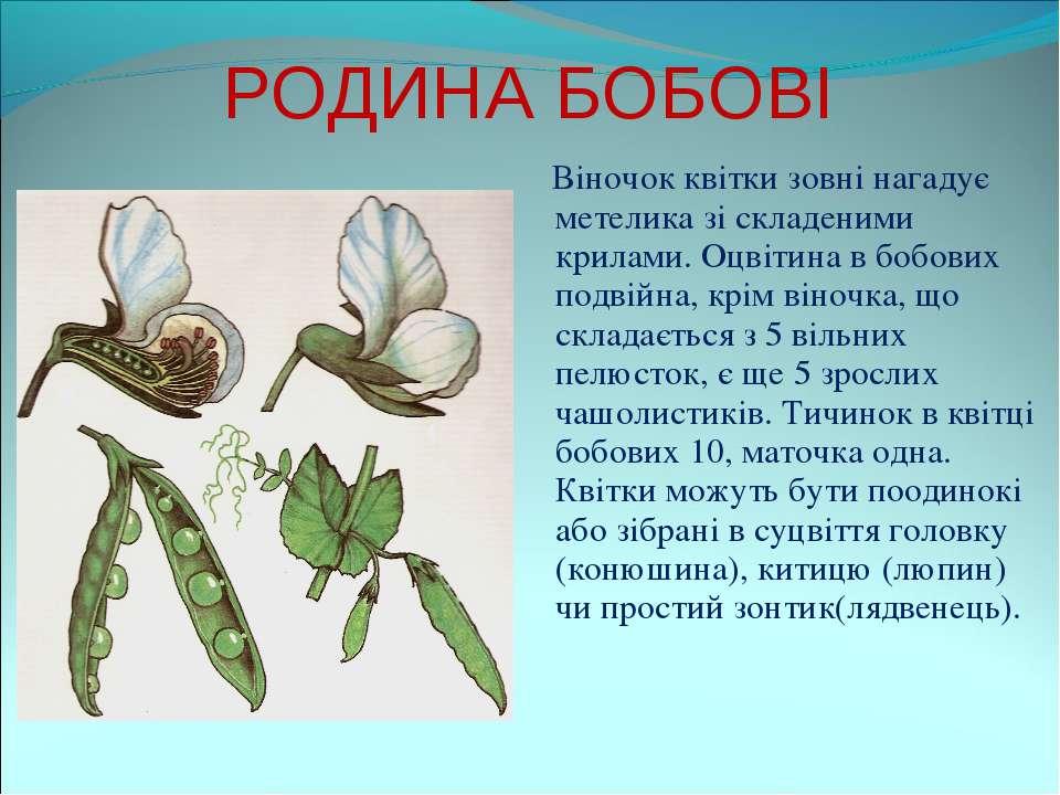 РОДИНА БОБОВІ Віночок квітки зовні нагадує метелика зі складеними крилами. Оц...