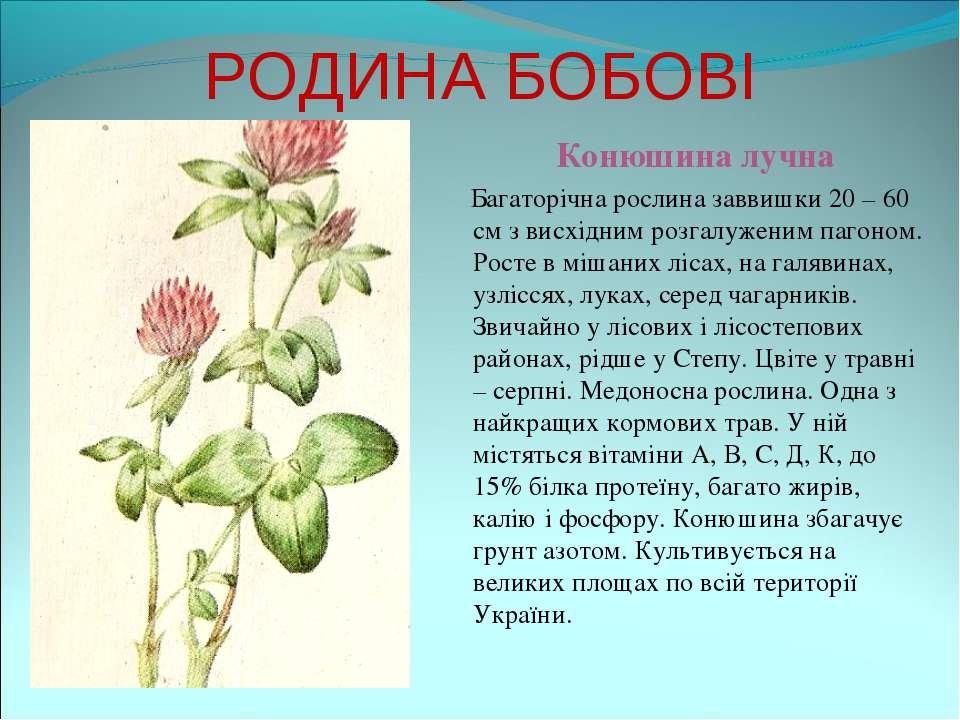РОДИНА БОБОВІ Конюшина лучна Багаторічна рослина заввишки 20 – 60 см з висхід...