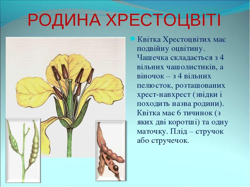 РОДИНА ХРЕСТОЦВІТІ Квітка Хрестоцвітих має подвійну оцвітину. Чашечка складає...