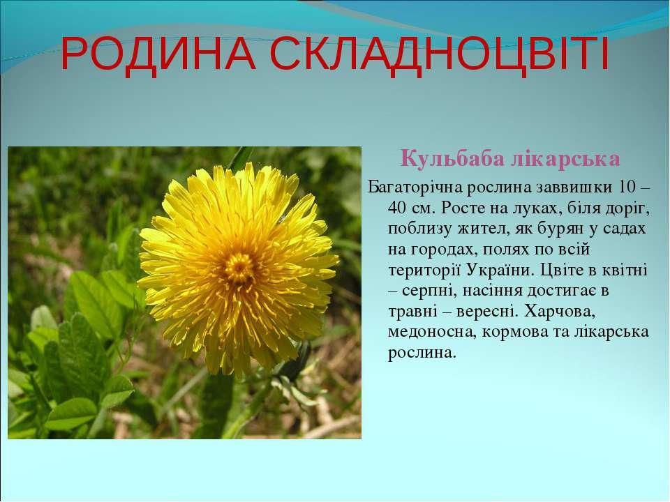 РОДИНА СКЛАДНОЦВІТІ Кульбаба лікарська Багаторічна рослина заввишки 10 – 40 с...