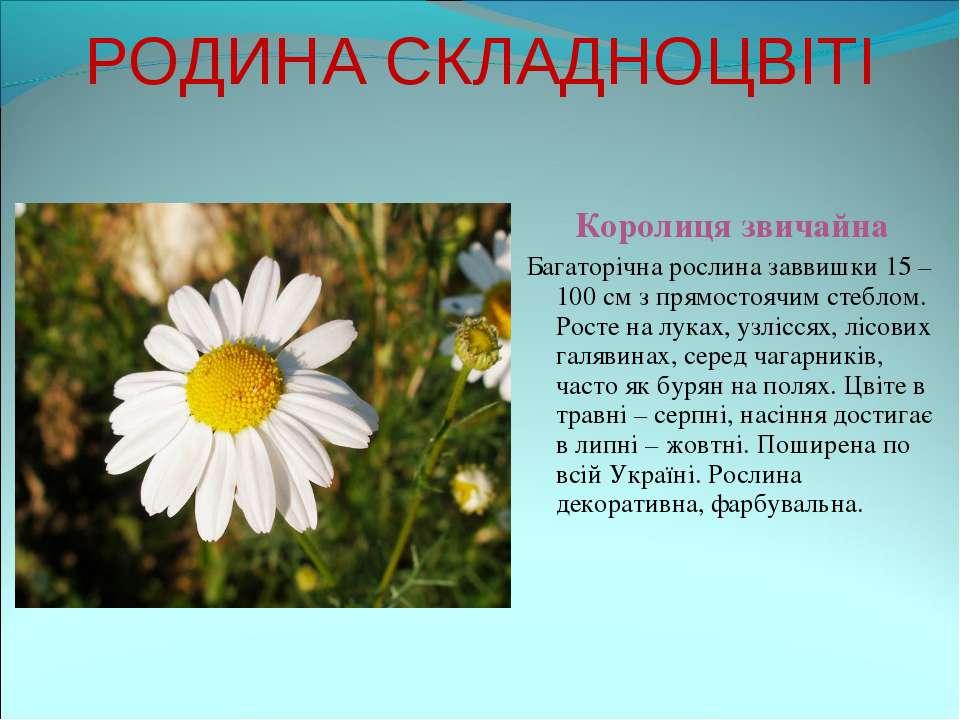 РОДИНА СКЛАДНОЦВІТІ Королиця звичайна Багаторічна рослина заввишки 15 – 100 с...