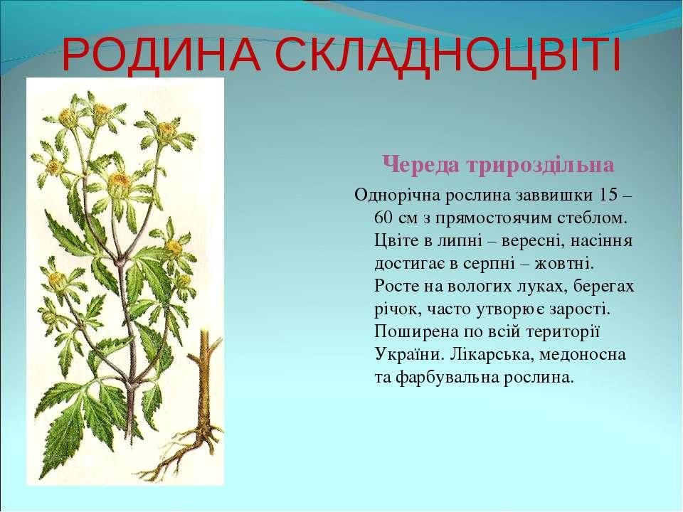 РОДИНА СКЛАДНОЦВІТІ Череда трироздільна Однорічна рослина заввишки 15 – 60 см...