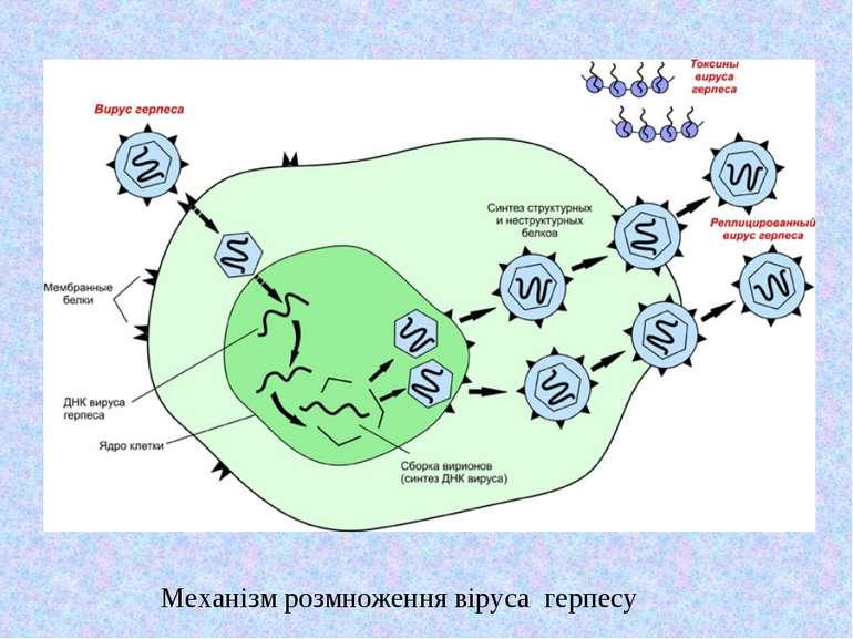 Механізм розмноження віруса герпесу