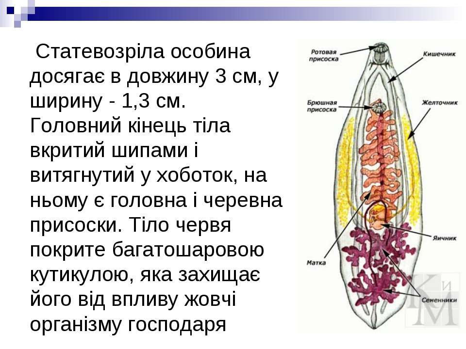 Статевозріла особина досягає в довжину 3 см, у ширину - 1,3 см. Головний кіне...