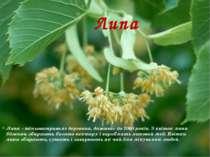 Липа Липа – тіньовитривале деревина, доживає до 1000 років. З квіток липи бдж...