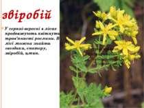 звіробій У серпні-вересні в лісах продовжують квітнути трав'янисті рослини. В...