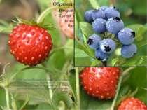 У лісах росте багато рослин. Це суниця, чорниця, брусниця, журавлина, малина,...
