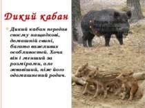 Дикий кабан Дикий кабан передав своєму нащадкові, домашній свині, багато важл...