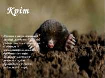 Кріт Крота в оксамитовій шубці людина бачить рідко, хоча ця тварина с одним з...