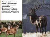 Благородний олень є одним з найбільших ссавців, що населяє територію Централь...