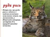 руда рись Попри те, що руда рись е однією з найчисленніших невеликих кішок, щ...