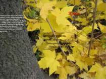 Клен Справжньою окрасою наших лисів є клен гостролистий. Це високе, струнке д...