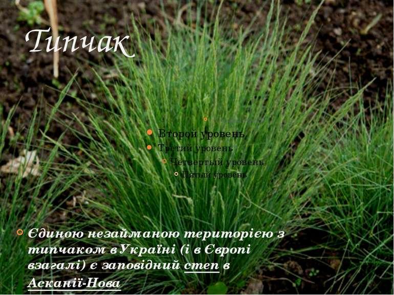 Типчак Єдиною незайманою територією з типчаком в Україні (і в Європі взагалі)...
